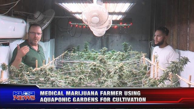 Medical marijuana using Aquaponic gardens for cultivation
