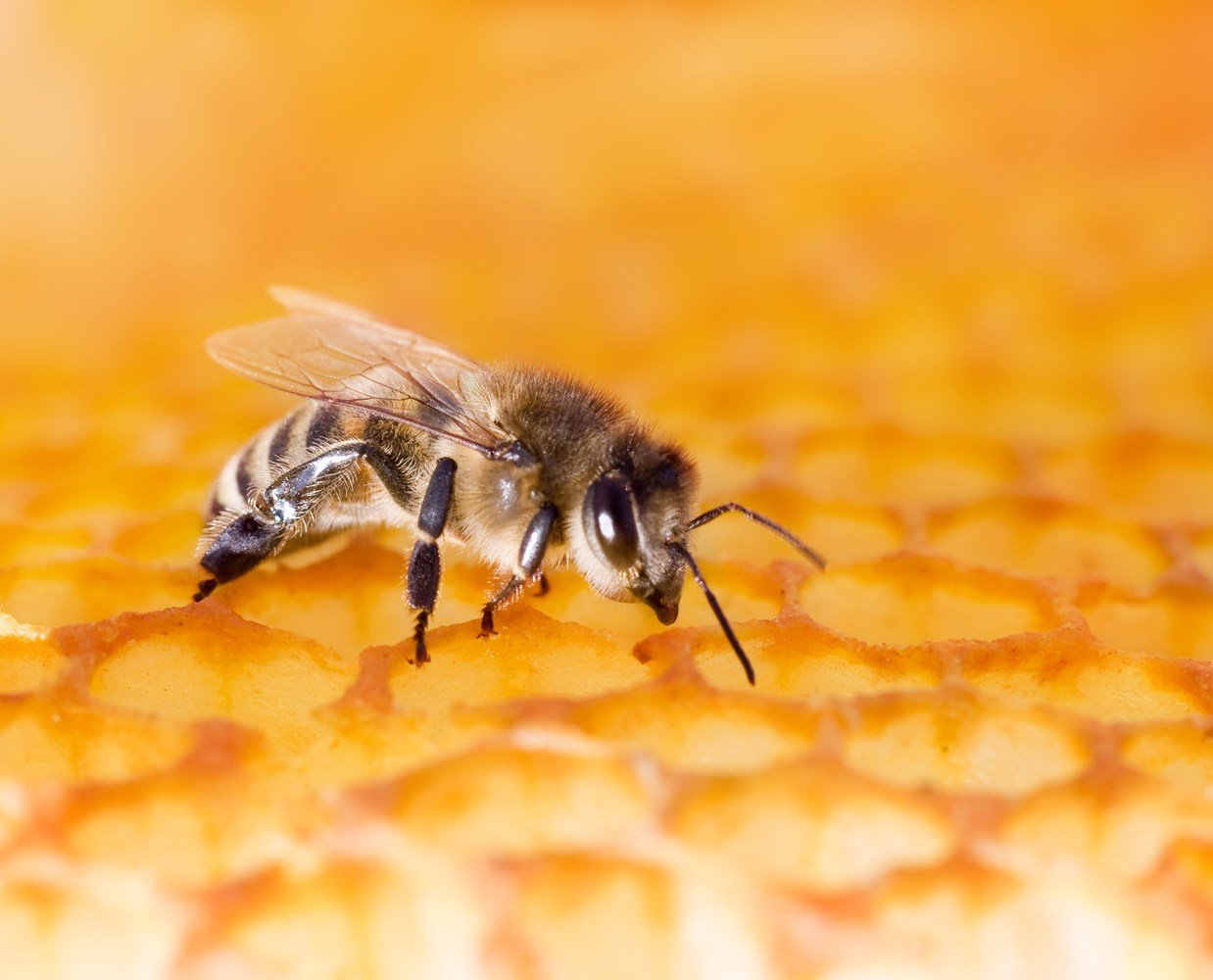 Shortage of anti-venom for those who are allergic to bee stings