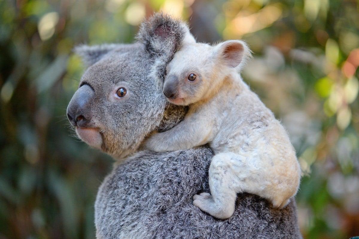 Rare white koala joey born at Australia Zoo
