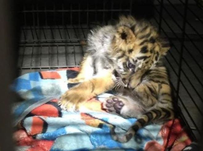 Teen charged with smuggling tiger cub at Otay Mesa border