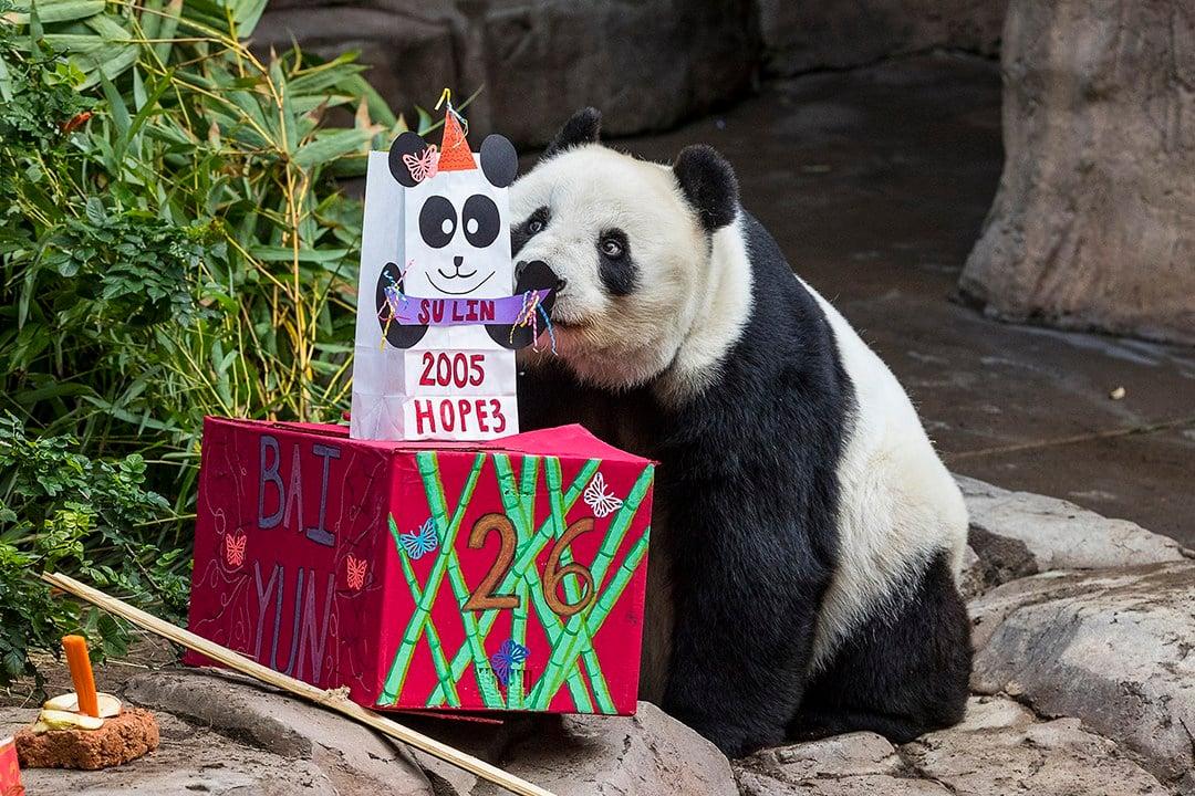 Bai Yun the panda celebrates 26th birthday at San Diego Zoo
