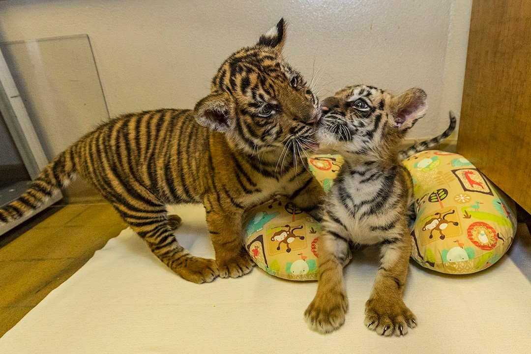 Baby tigers become brothers at San Diego zoo after mother rejects cub