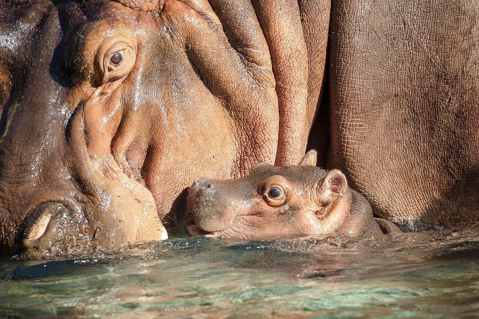 San Diego Zoo welcomes baby river hippopotamus